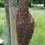 Bienenschwarm melden